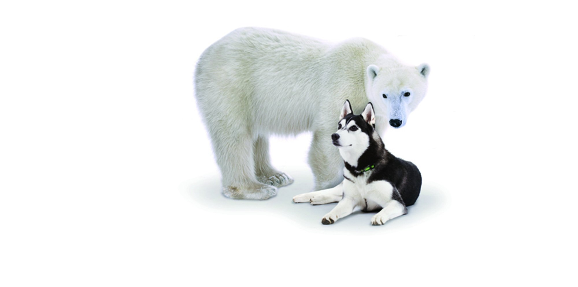 A polar bear and a husky dog in front of a white background