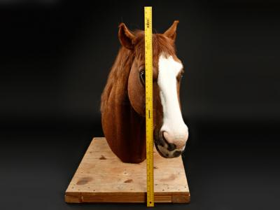 Italian for Beginners: a brown horse's head with a white face marking, mounted on a piece of wood. a yellow measuring tape is measuring the length of the horse's head