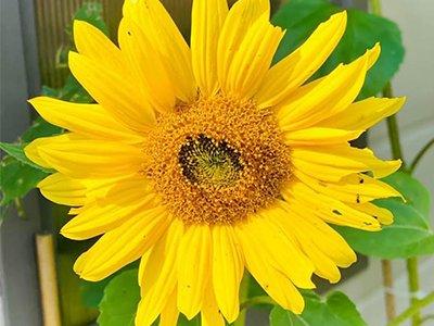 A photo of a sunflower